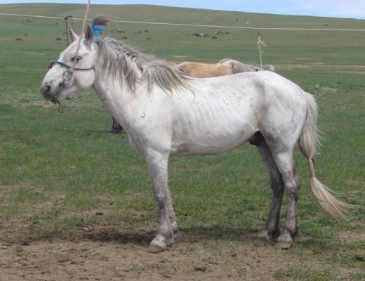 Монголчууд соёолон насны морины хөлс авдаг нууц тайлагдлаа
